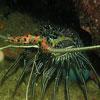 Painted Rock Lobster (Panuliflls versicolor)